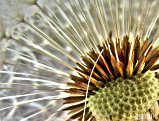 dandelion macro photography nature hdr