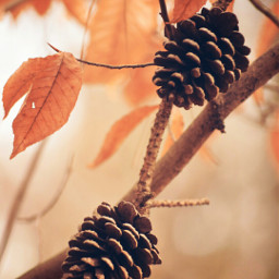 nature winter pinecones