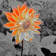 blackandwhite colourful flower nature travel