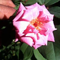 nature roseflower